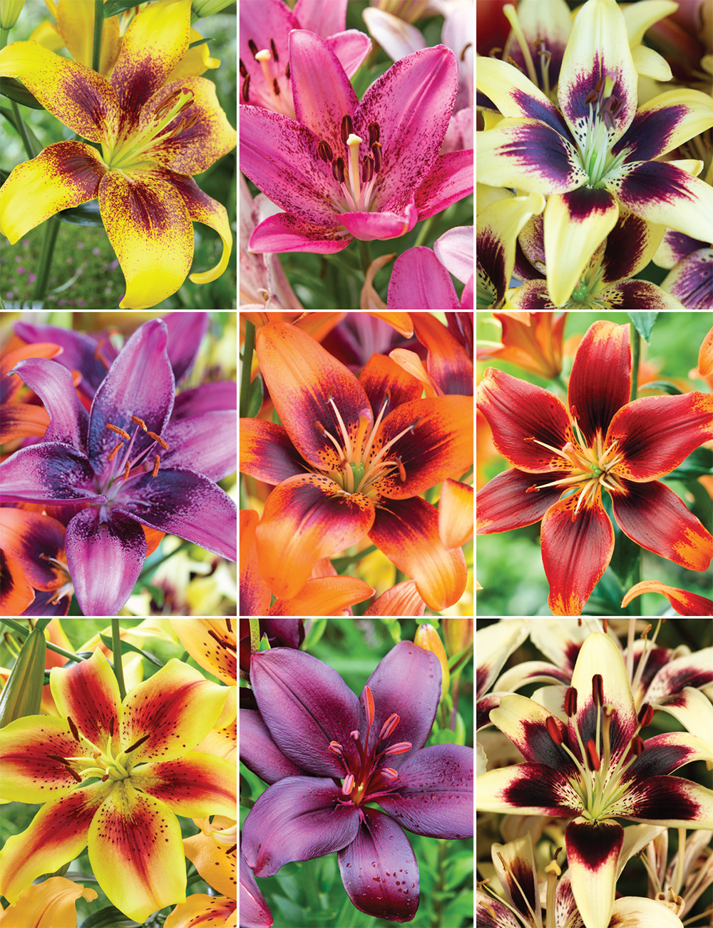 Matisse asiatic lilies collection tesselaar izmirmasajfo