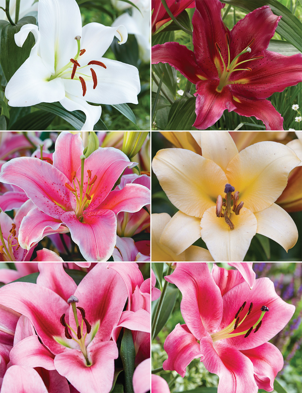 Oriental Lilies Collection No1