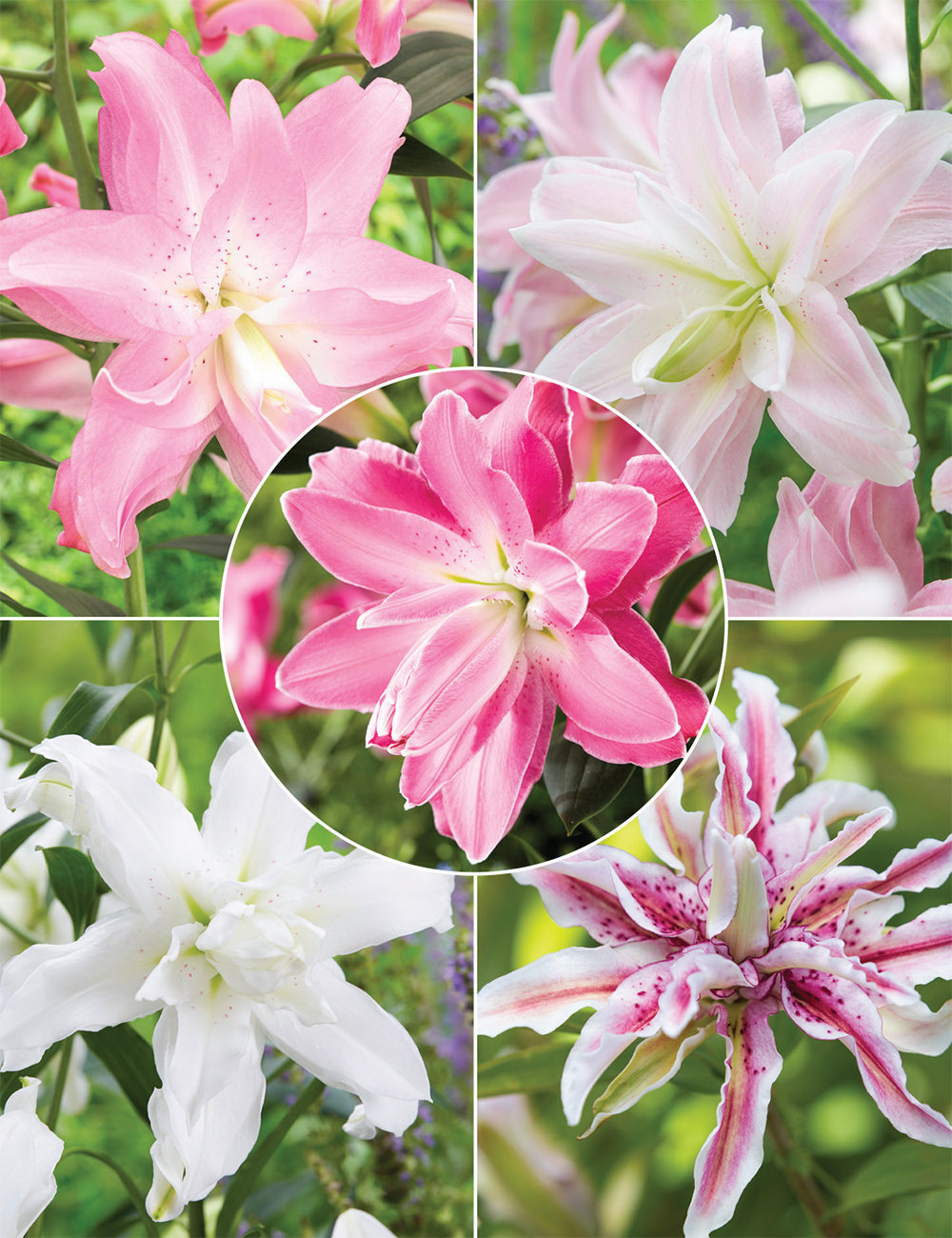 Double Oriental Lilies Collection