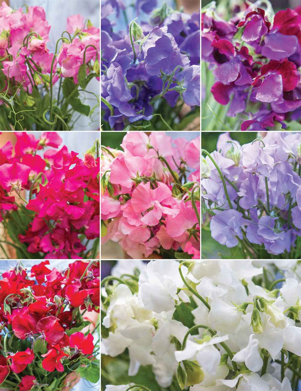 Sweet Seduction Sweet Pea Collection