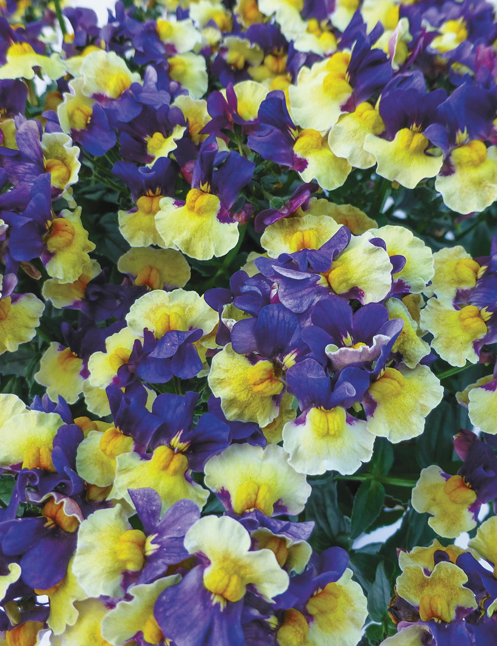Nemesia Penhow 'Plums and Custard'