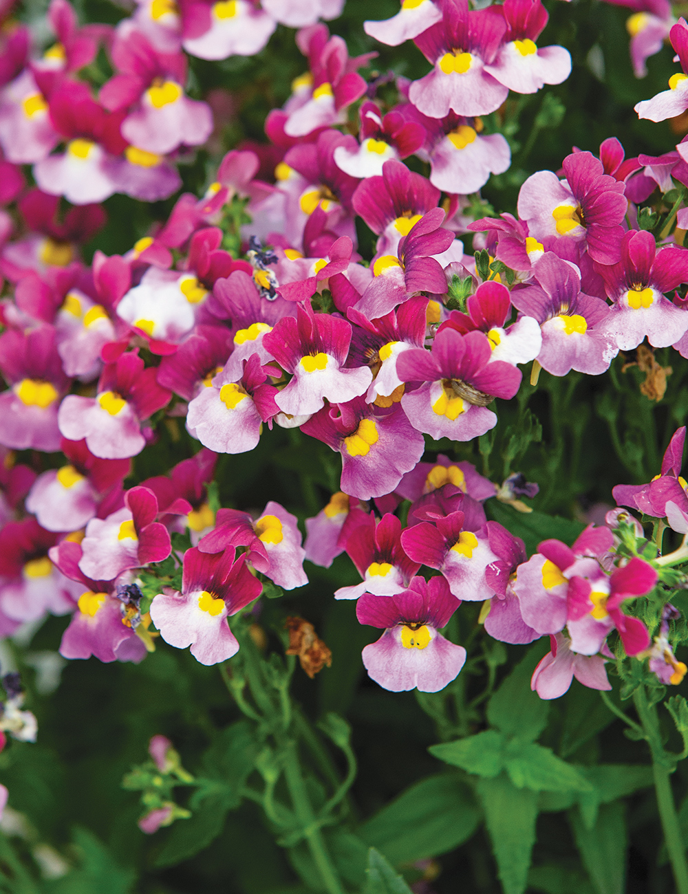 Nemesia Sweet Treats 'Strawberry'