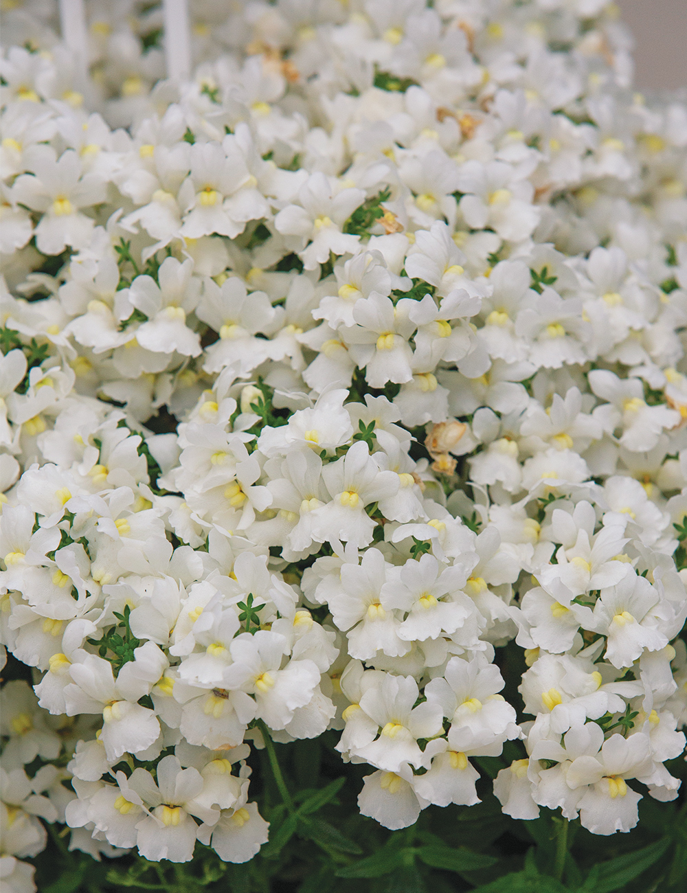 Nemesia Sweet Treats 'Vanilla Slice'