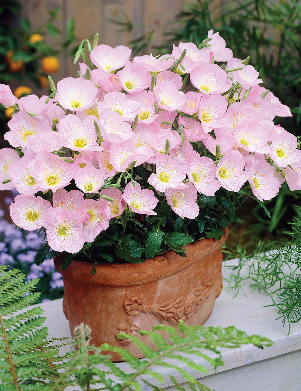 Evening primrose pink petticoats tesselaar evening primrose pink petticoats mightylinksfo
