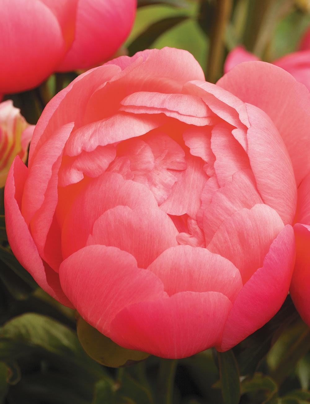 Peony Rose Pink Hawaiian Coral Tesselaar