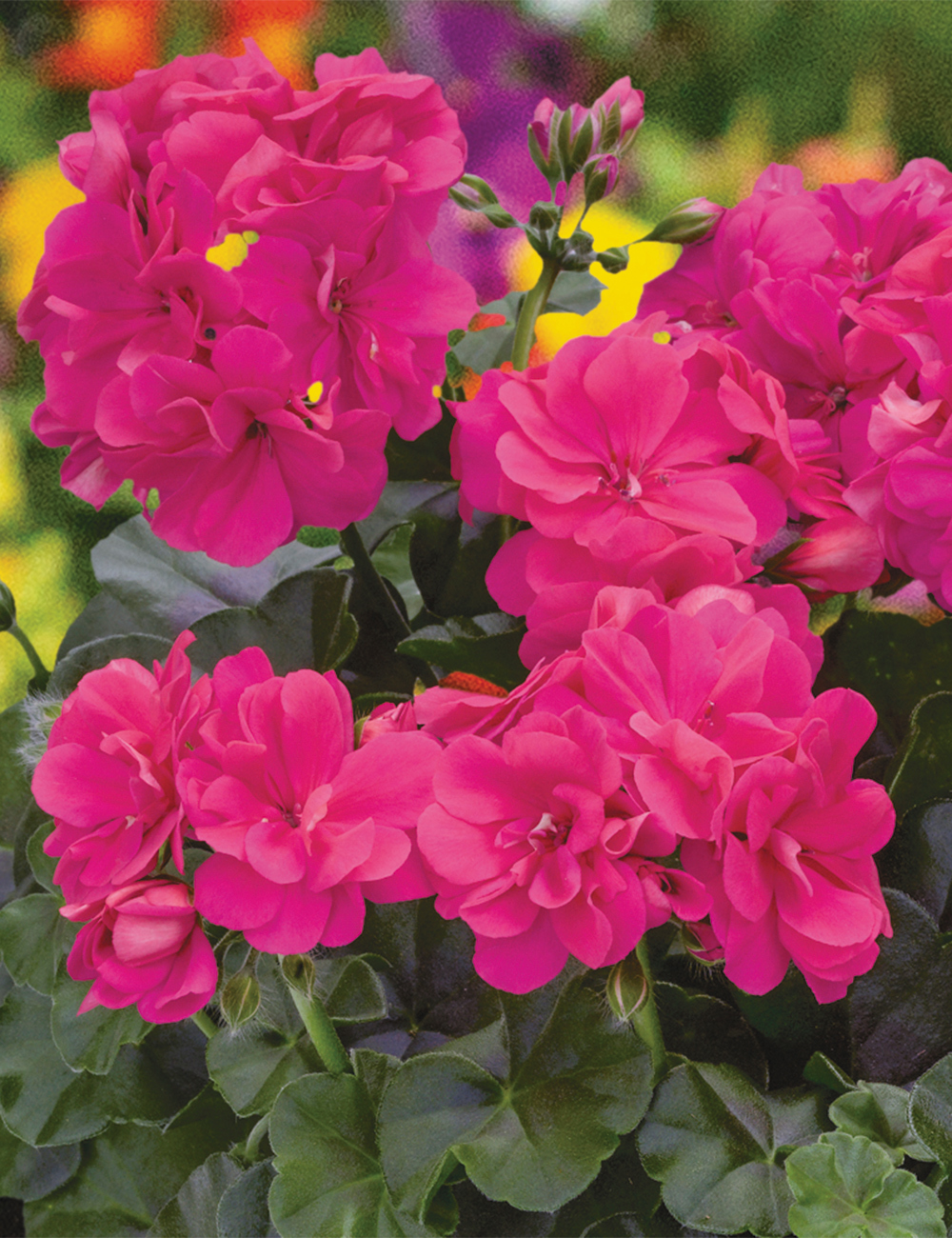 Ivy Geranium 'Great Balls of Fire' Hot Pink