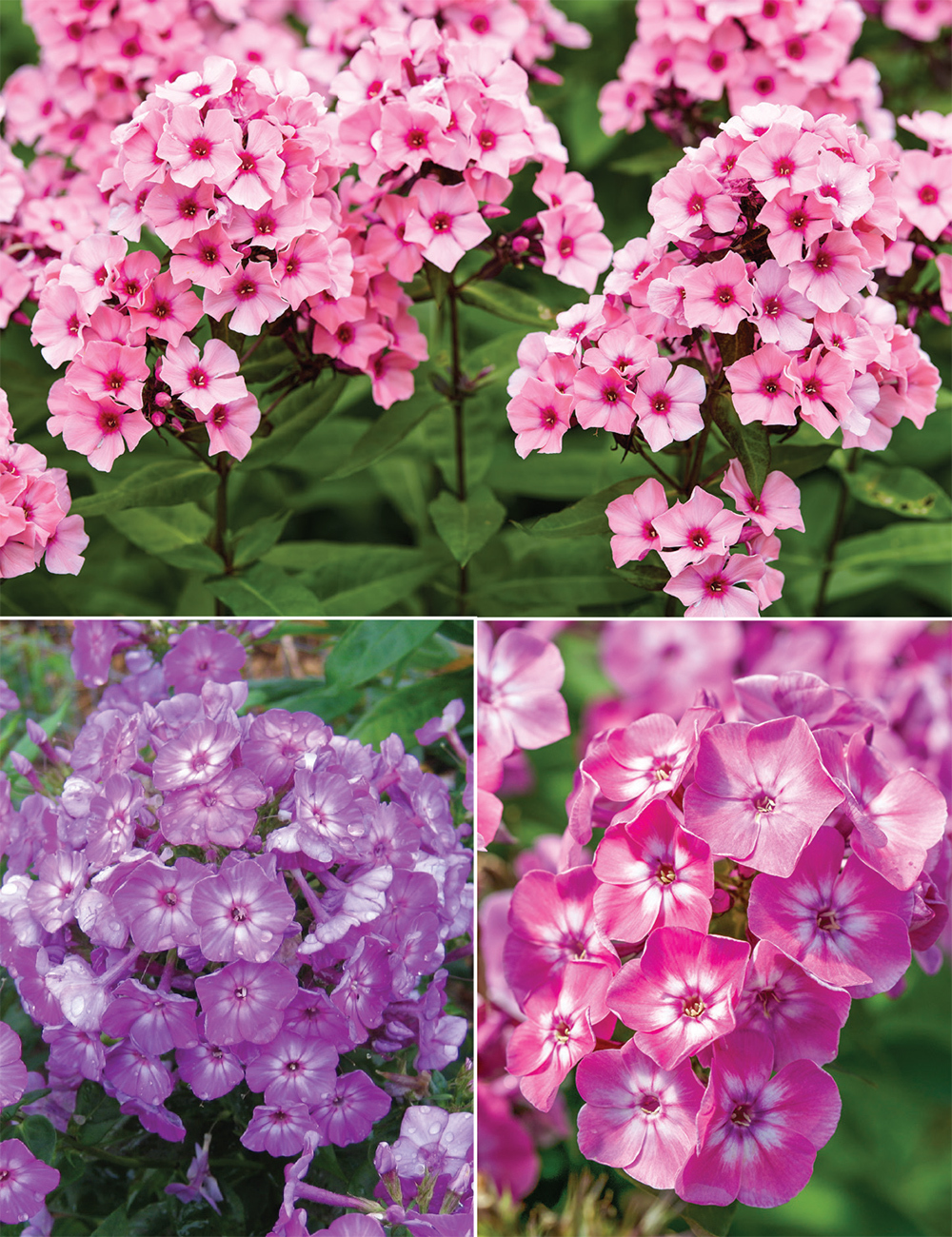 Perennial Phlox Collection Tesselaar