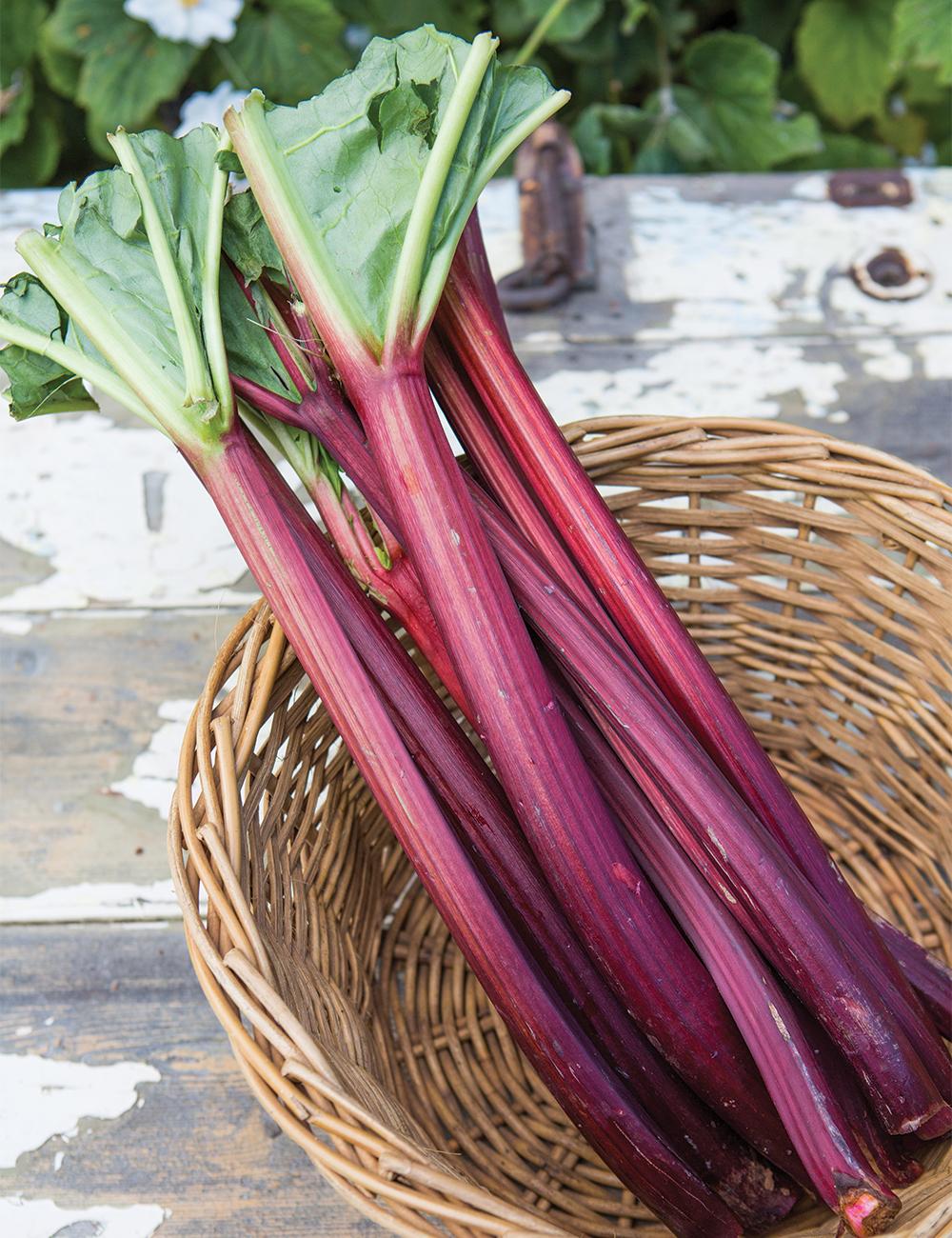 Rhubarb Ever Red Tesselaar