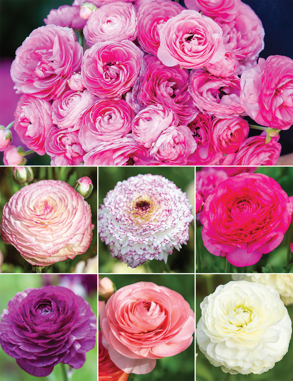 Renaissance Ranunculus Collection