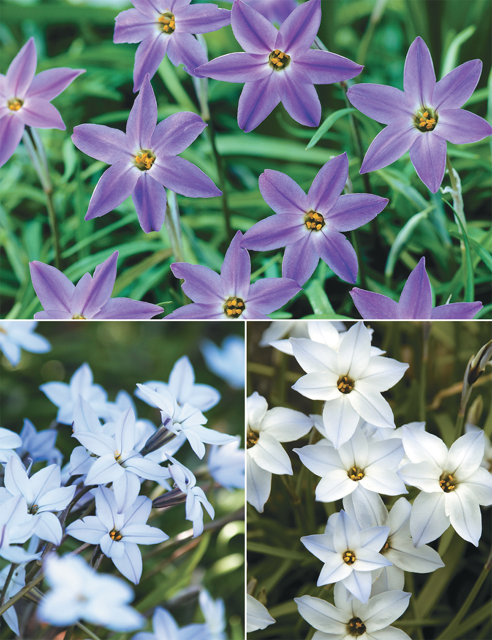 Spring Star Flowers (reduced) Collection