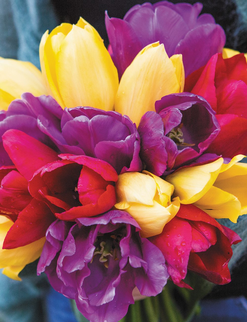 Tulip Colour Blend - Hot To Trot