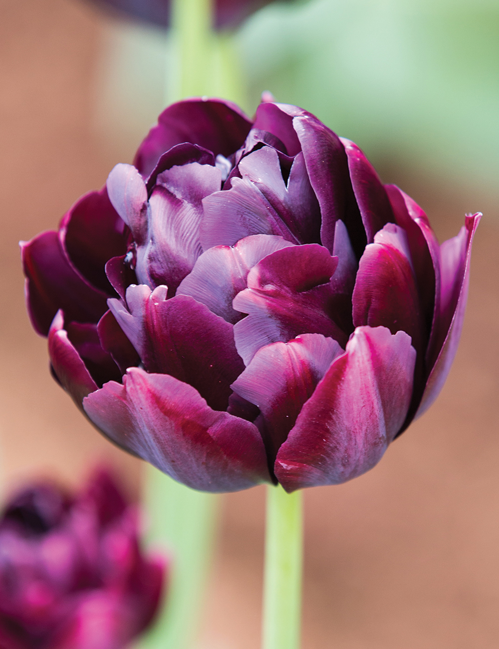 Double Tulip Black Hero