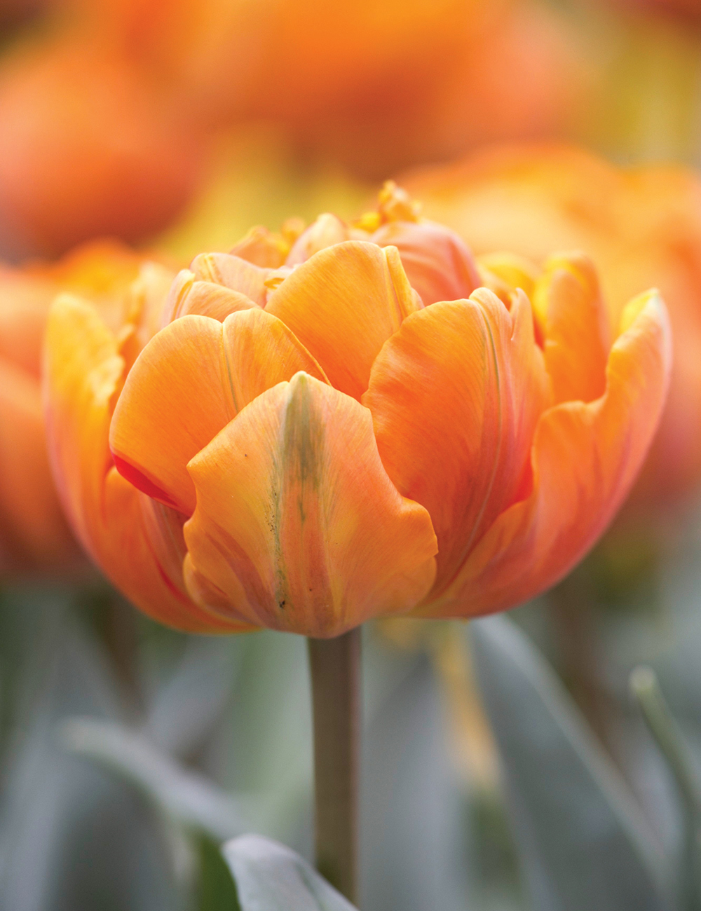 Double Tulip Orange Princess