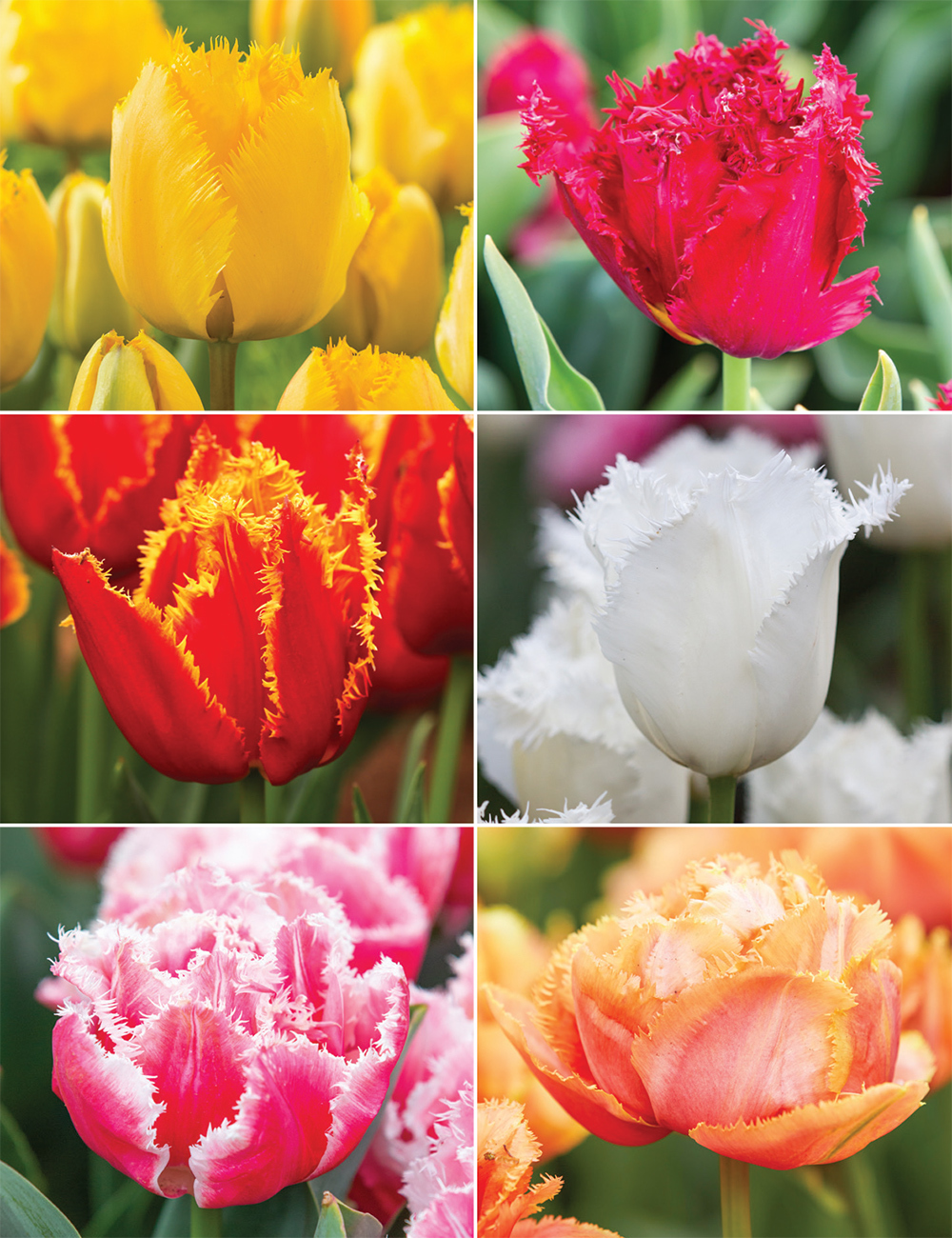 Fringed Tulips (reduced) Collection