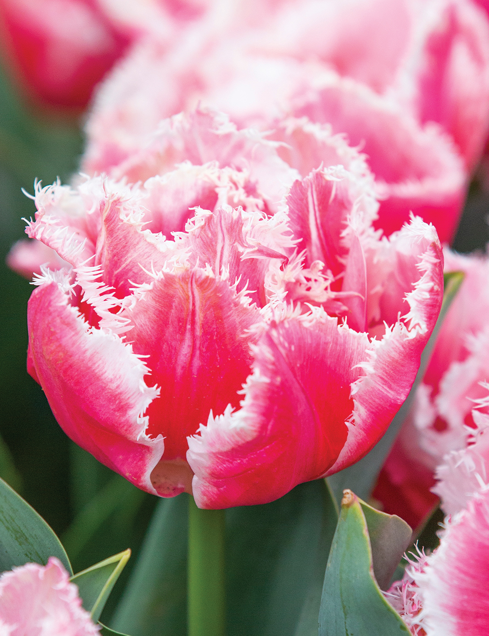 Fringed Tulip Queensland