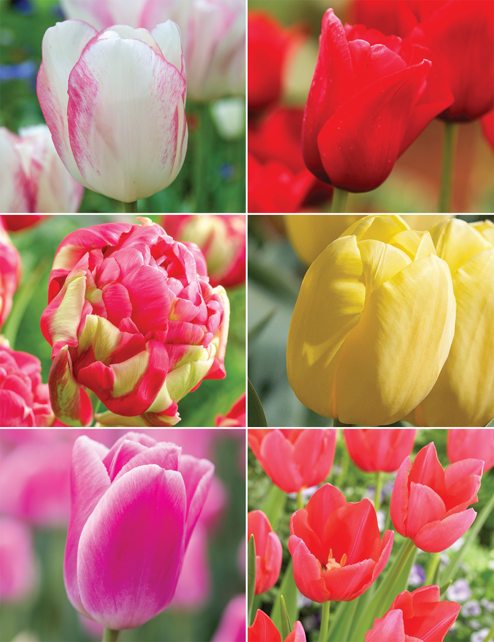 Monet Tulip New Collection