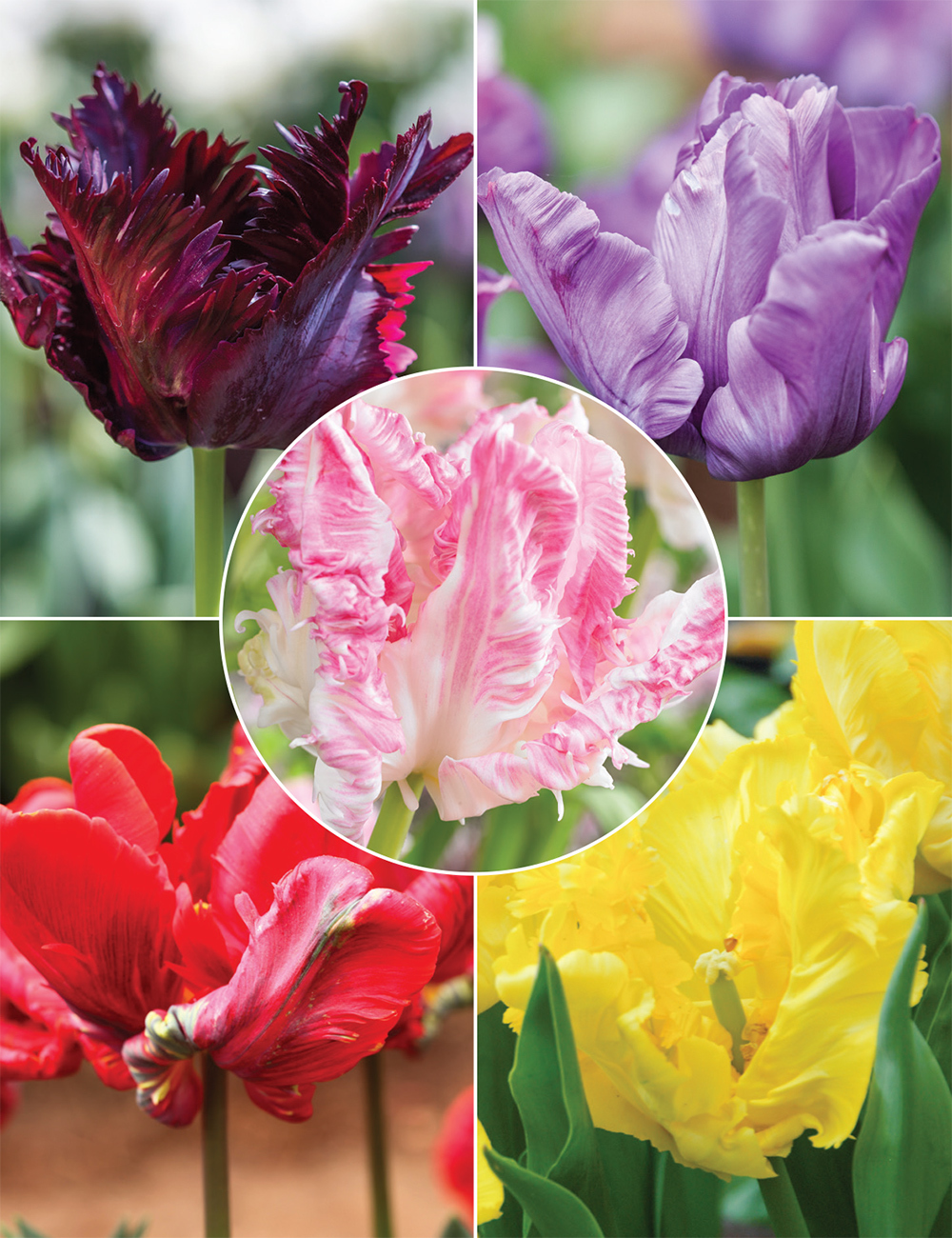 Parrot Tulips (reduced) Collection