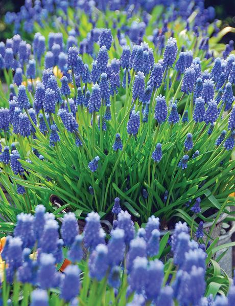 Grape Hyacinth Tesselaar