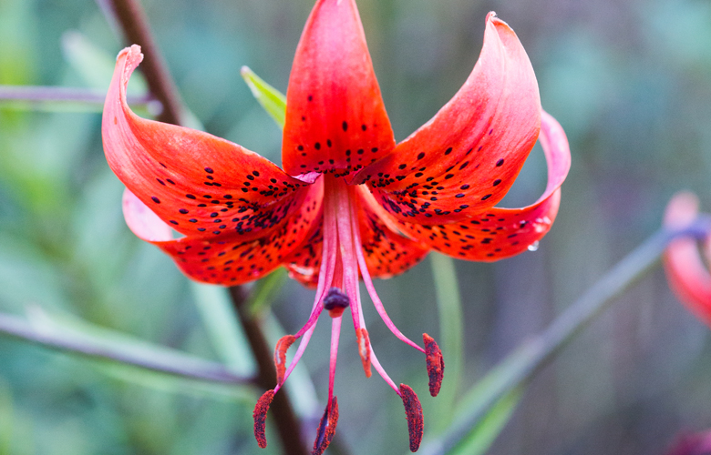 So If You Have Never Grown Lilium Bulbs Before Read On To Discover The Simple Steps For Growing Them Successfully In Your Own Garden