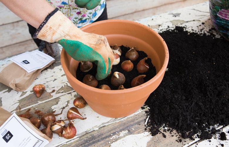 Тюльпаны из луковиц как сажать 87
