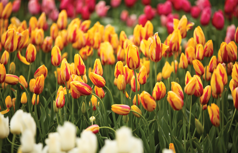Top tips for growing tulips in australia tesselaar top ten tips for growing tulips mightylinksfo