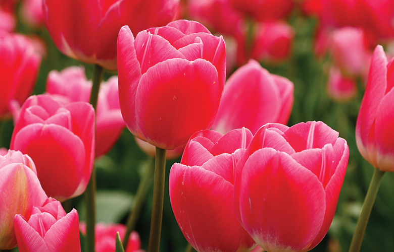 the hidden meaning in tulip varieties  tesselaar, Natural flower